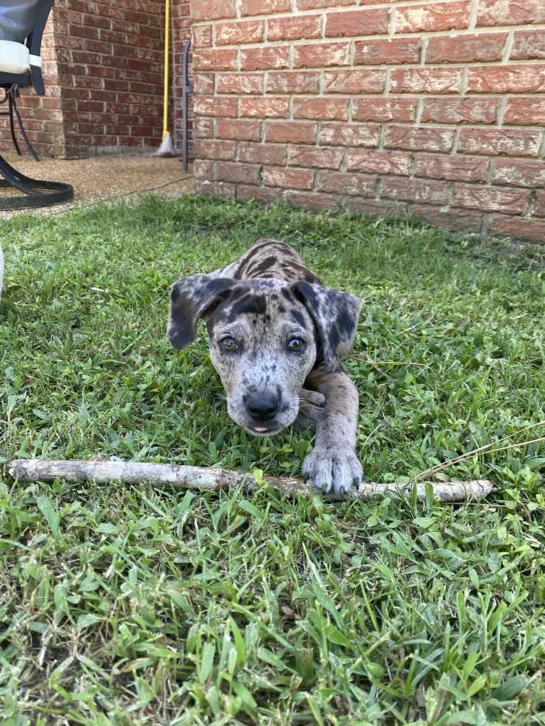 Photo of Rowdy Biscuit Nason, a Dachshund, American Pit Bull Terrier, Mountain Cur, Australian Shepherd, and Mixed mix in Wesson, Mississippi, USA