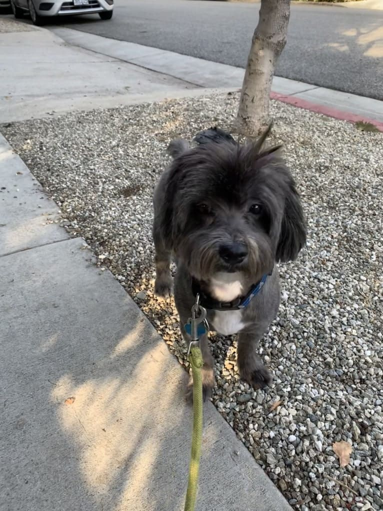 Photo of Baxter, a Shih Tzu, Poodle (Small), and Pomeranian mix in Los Angeles, California, USA
