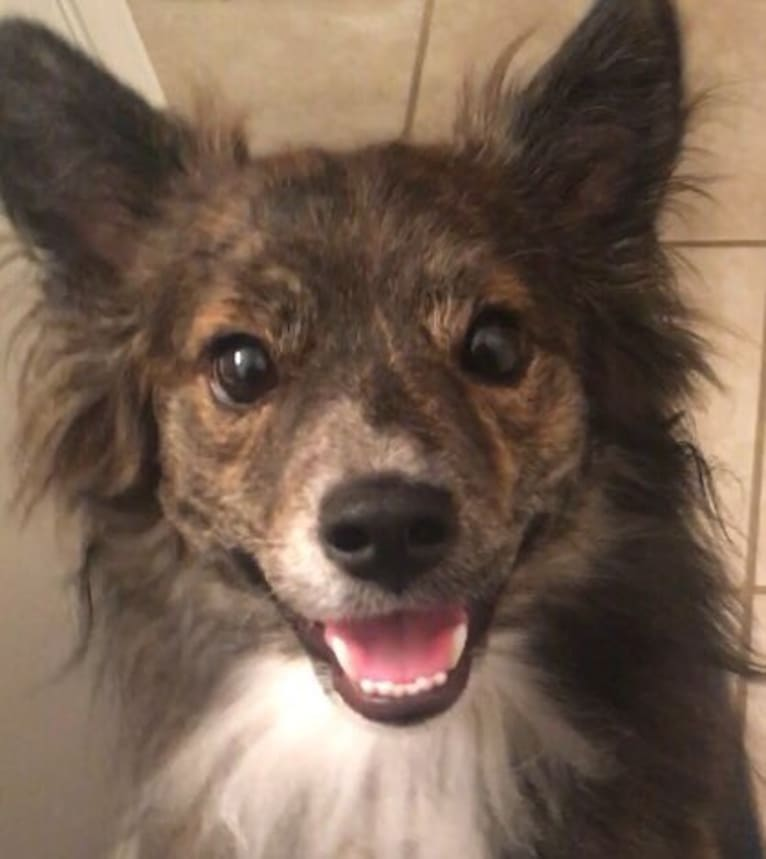 Photo of Shadow, a Boston Terrier, Pomeranian, Australian Cattle Dog, Miniature/MAS-type Australian Shepherd, and Shiba Inu mix in Warrensburg, Missouri, USA