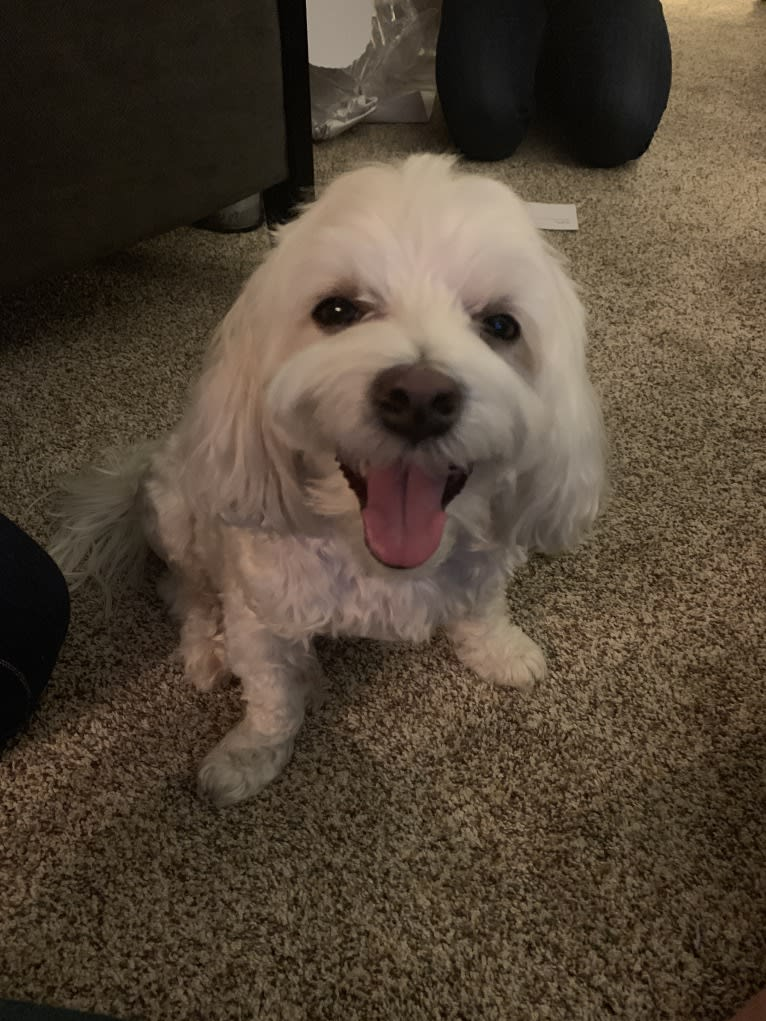 Photo of Riley, a Maltese  in Chicago, Illinois, USA
