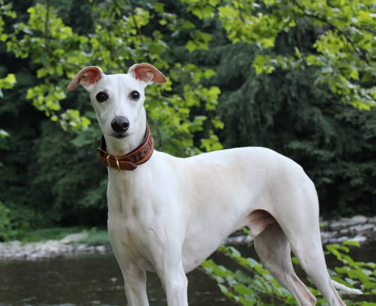 Photo of Zoom, a Whippet  in Homewood, Alabama, USA