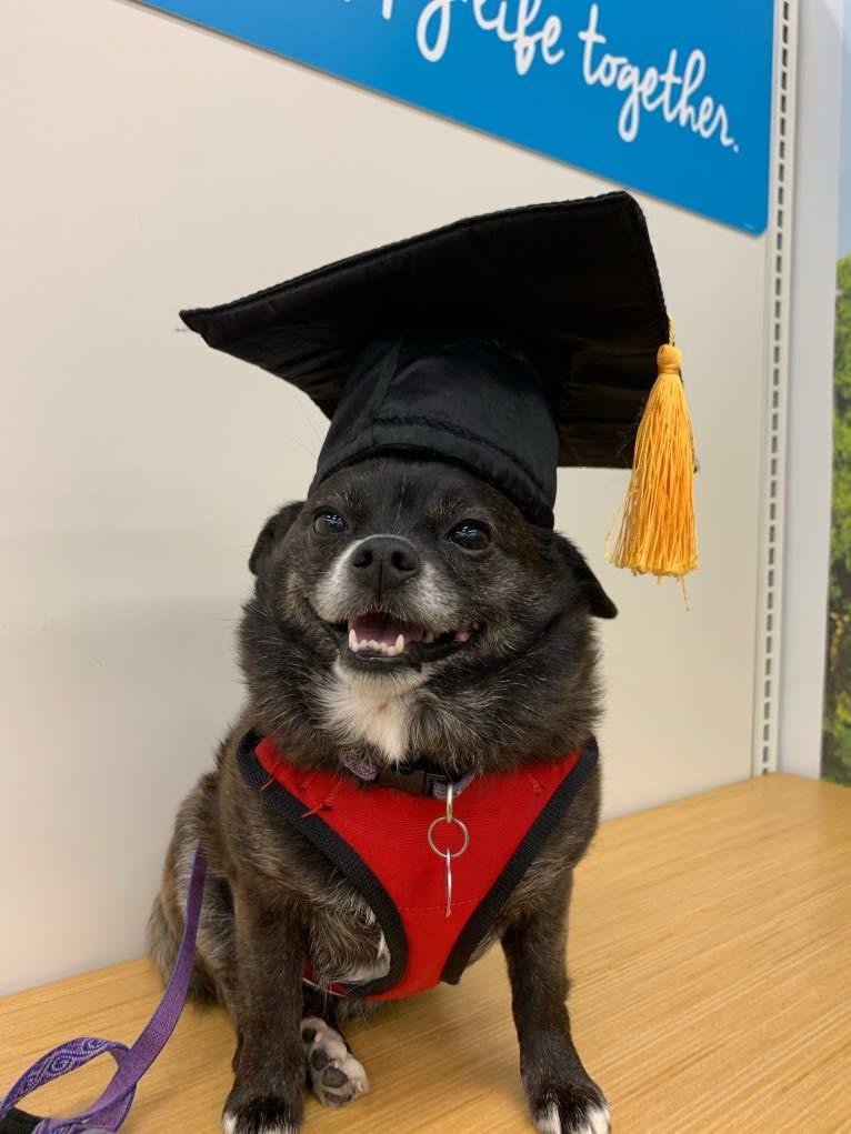 Photo of Indy, a Pomeranian, Shih Tzu, Boston Terrier, and Mixed mix in Mt Vernon, Washington, USA