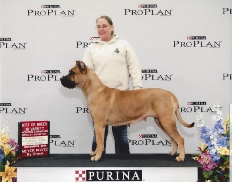 Photo of Suey 2, a Perro de Presa Canario  in IL, USA