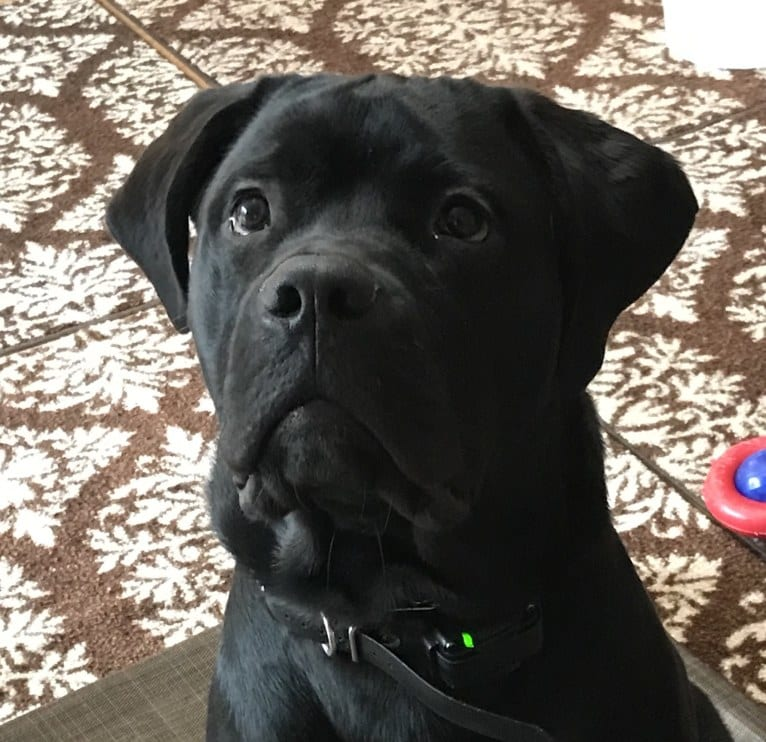 Photo of Max, a Bullmastiff and Newfoundland mix in Norfolk, VA, USA