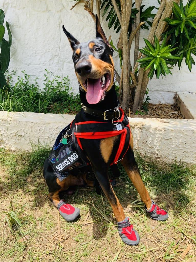 Photo of Castiel, a Doberman Pinscher, Rottweiler, and German Shepherd Dog mix in Camuy, Puerto Rico