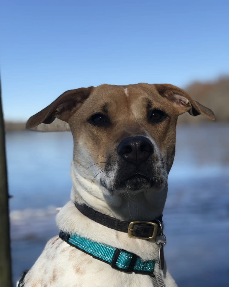 Photo of Porter, an American Pit Bull Terrier, Chow Chow, Beagle, Labrador Retriever, and Mixed mix in Smithtown, NY, USA