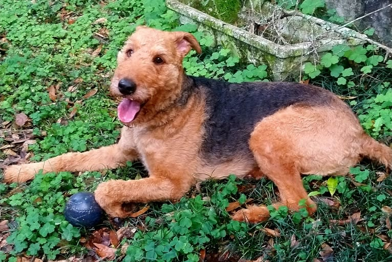 Photo of Paisley, an Airedale Terrier  in Alabama, USA
