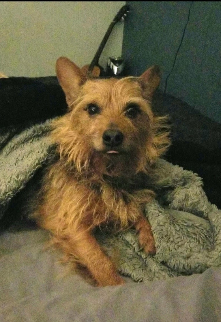 Photo of Rondo, a Yorkshire Terrier, Chihuahua, Cocker Spaniel, and Mixed mix in Naples, Florida, USA