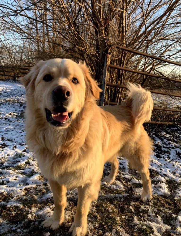 Photo of Flynn, a Labrador Retriever, Great Pyrenees, Bernese Mountain Dog, Border Collie, and Mixed mix in Horse Cave, Kentucky, USA