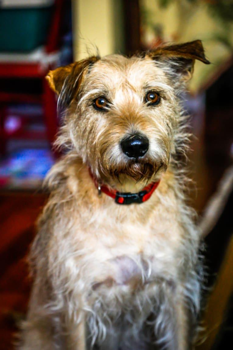 Photo of Mickey, a Miniature Schnauzer, Boston Terrier, and Labrador Retriever mix in Albuquerque, New Mexico, USA