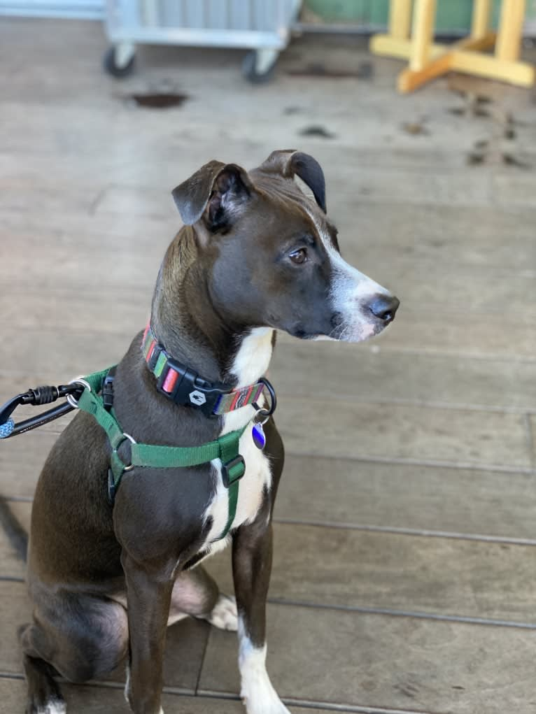 Photo of Ranger, an American Pit Bull Terrier, Australian Shepherd, and Mixed mix in North Carolina, USA