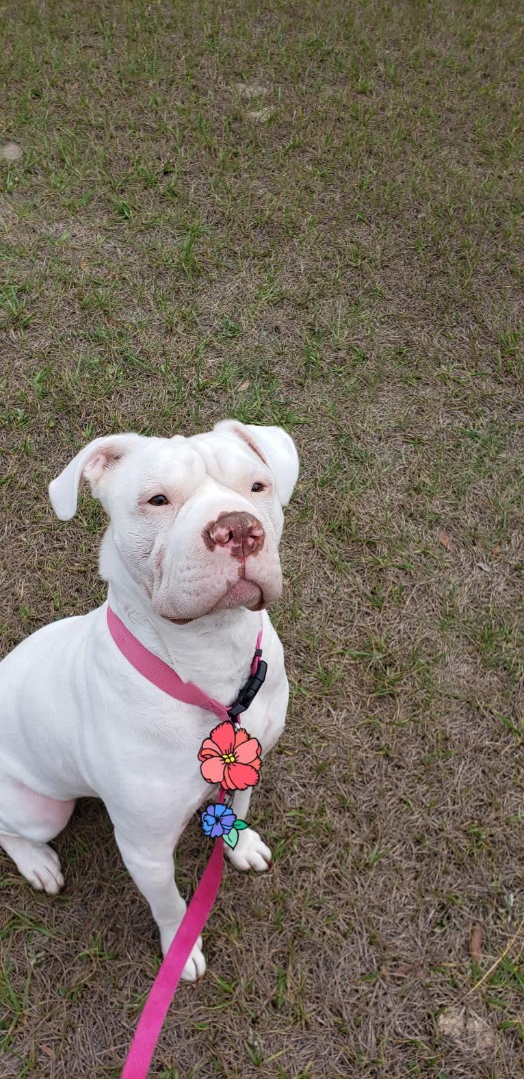 Photo of Storm, an American Bulldog