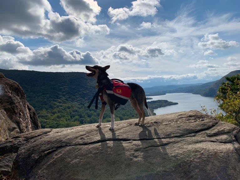 Photo of Loki, a Mountain Cur, Norwegian Elkhound, American Eskimo Dog, and Mixed mix