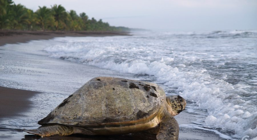 Sea turtle diggin in the sand to put her eggs on August 2010, in Tortuguero National Park, Costa Rica