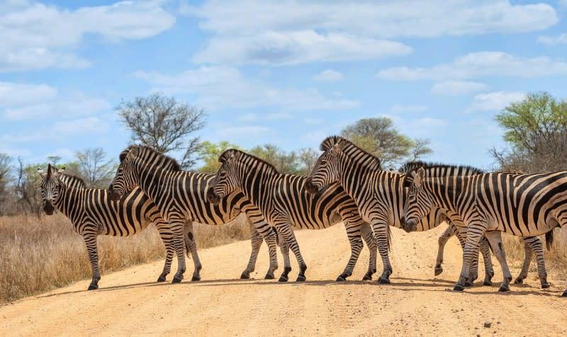 Krüger Nationalpark: Zebras überqueren die Straße