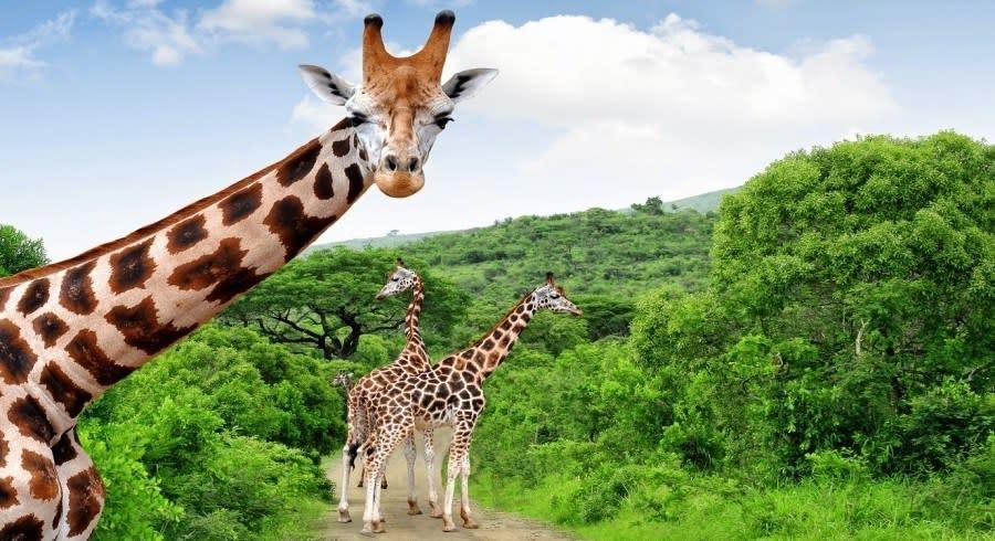 Kruger: giraffes