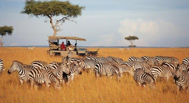 Zebras beim Safarifahrt in Masai Mara beobachten