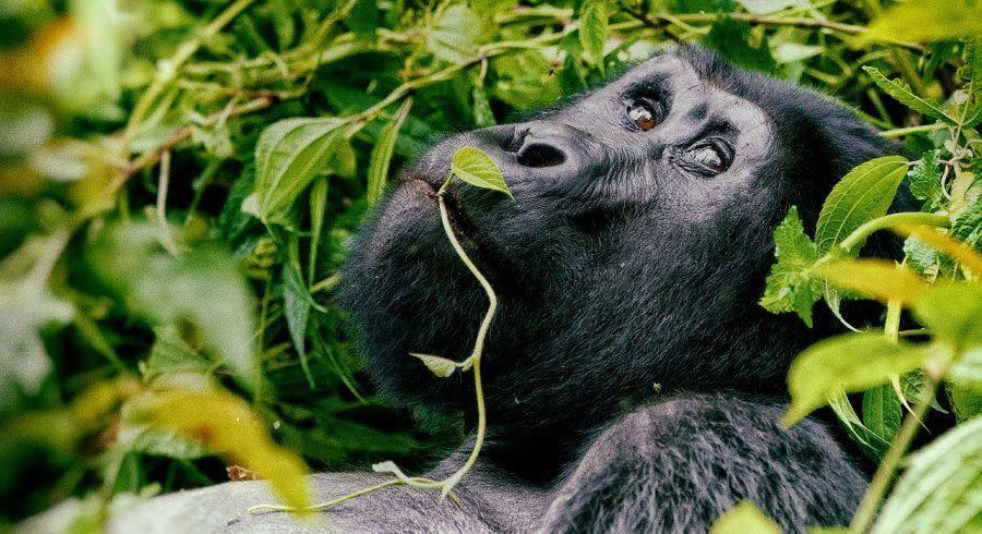 Ruanda Gorillas