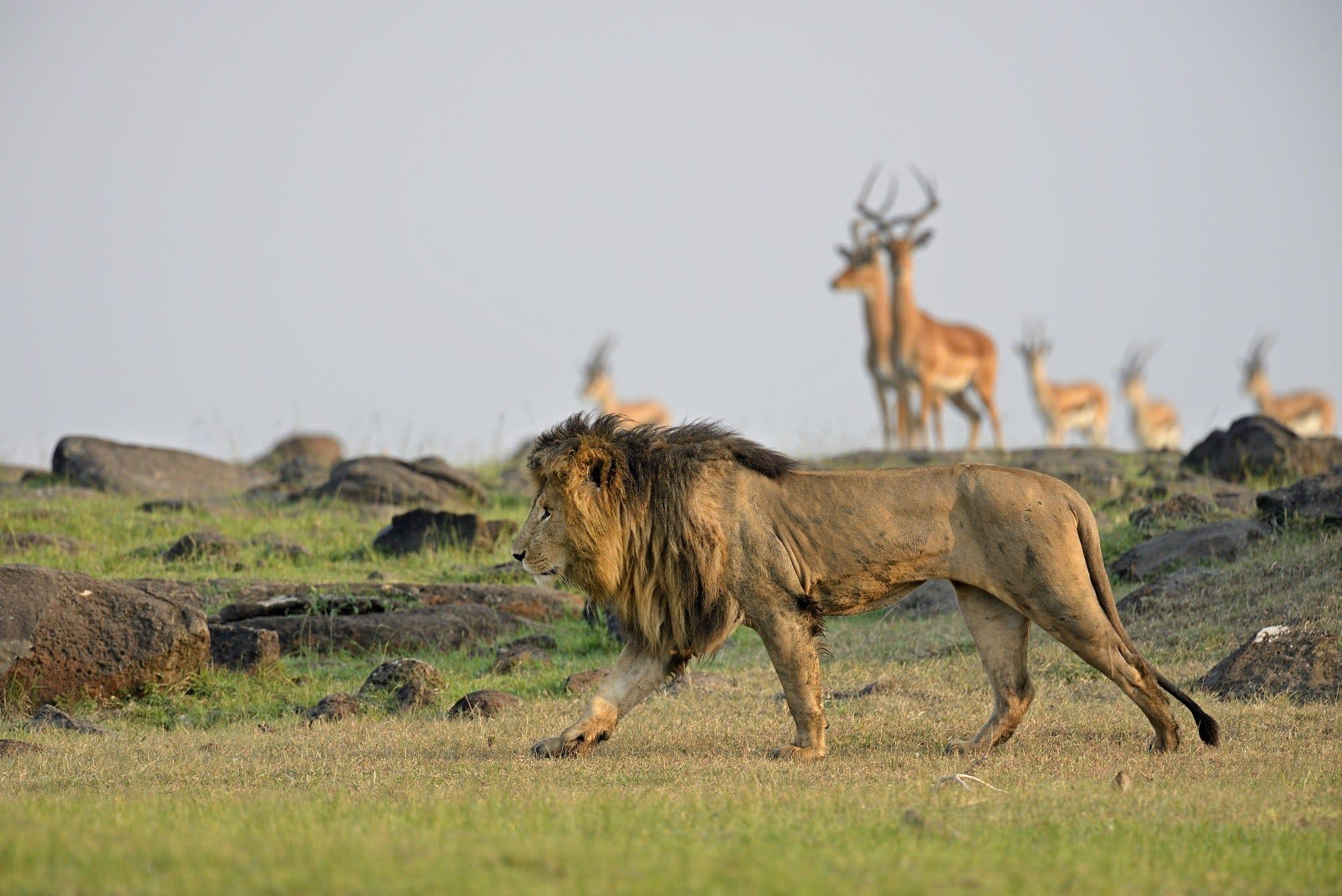 Löwe und Antilopen in der Savanne von Simbabwe, Afrika