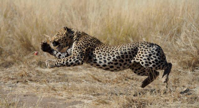 Geparden im Etosha Nationalpark