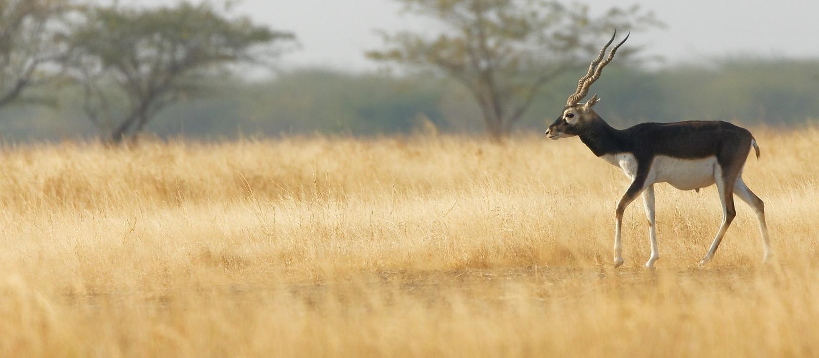 Reiseziel Velavadar Nationalpark Zentral- & Westindien