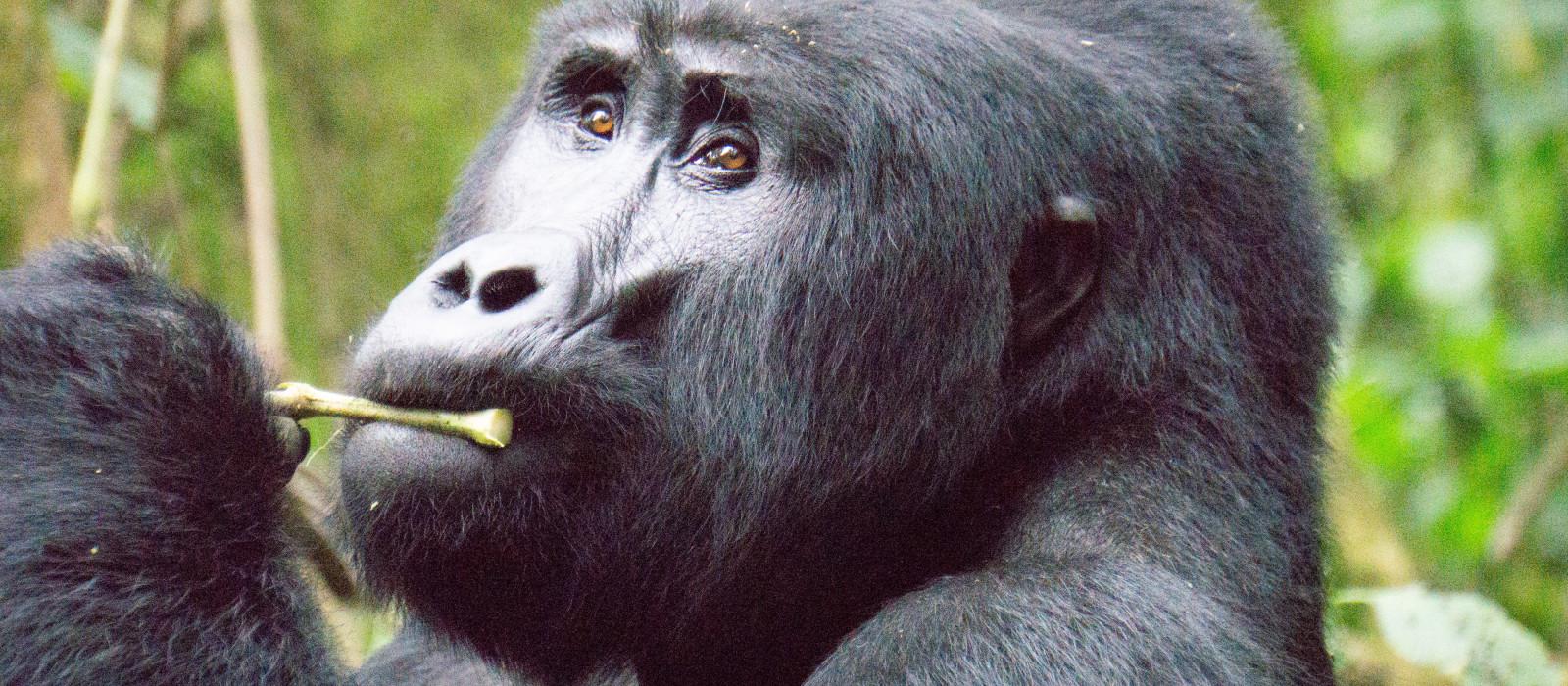 Ostafrika: Gorilla Trekking in Uganda & Safari in Kenia und Tansania Urlaub 1