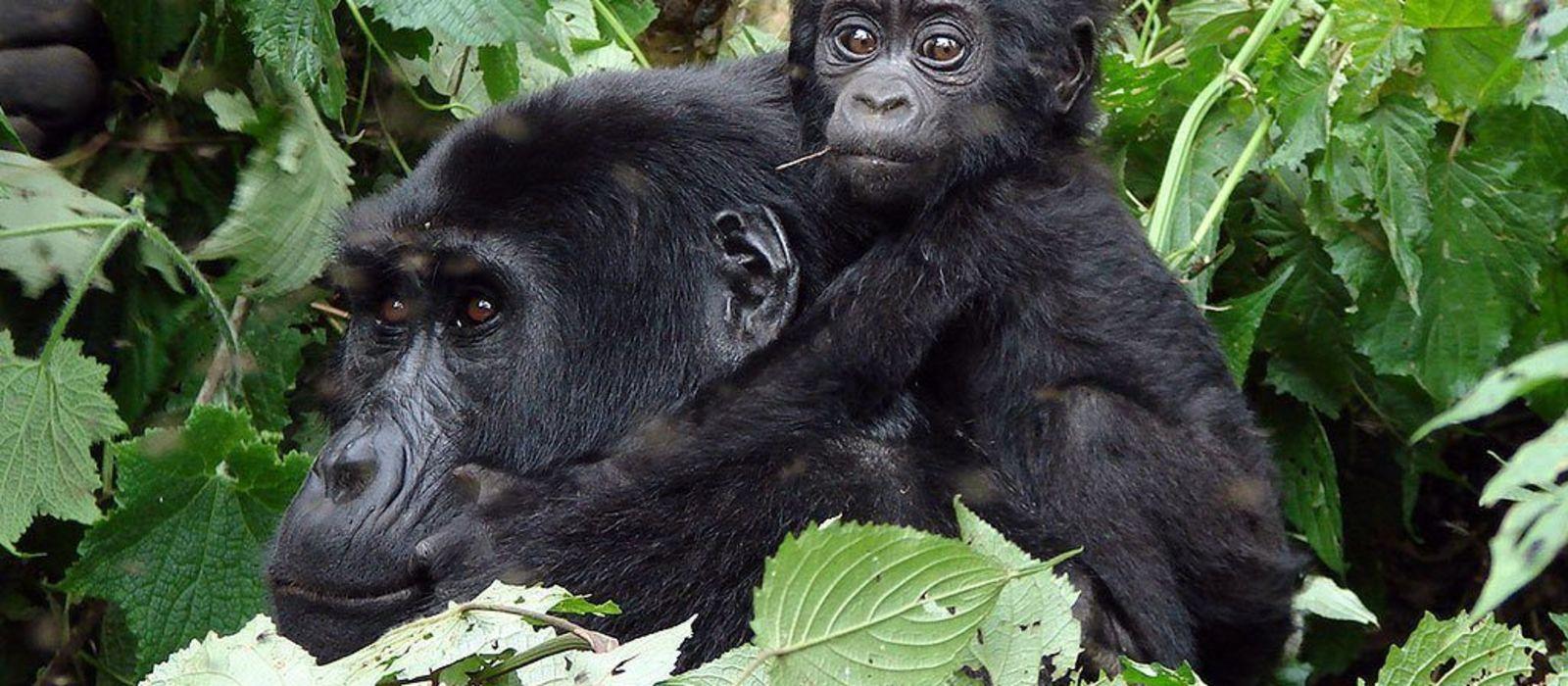 Kenia und Ruanda: Safari und Gorilla-Trekking Urlaub 1