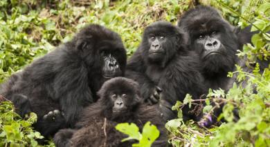 Empfohlene Individualreise, Rundreise: Gorilla Trekking in Ruanda