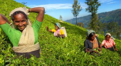 Empfohlene Individualreise, Rundreise: Sri Lanka: Reise zur Heimat des berühmten Ceylon-Tees