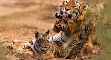 Empfohlene Individualreise, Rundreise: Exklusives Taj-Angebot: Auf Tigerspuren durch Indien