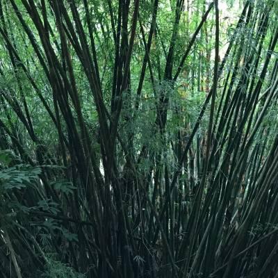 Bamboo Tree near Argyle Falls