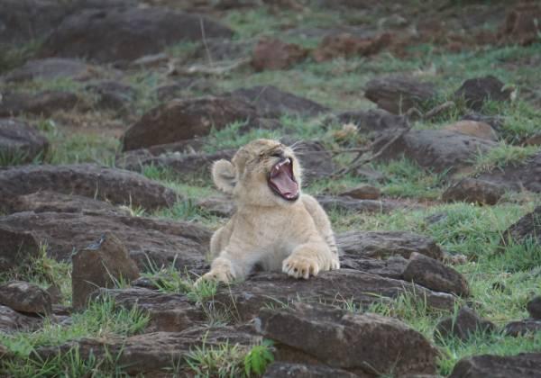 a lion sitting on a rock
