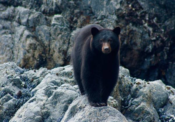 a large black bear standing on top of a rock
