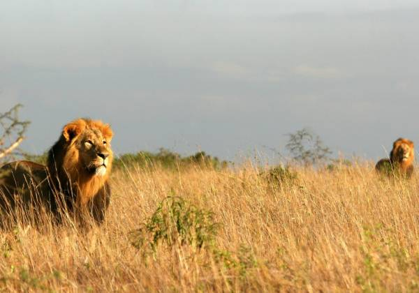 a lion standing on a dry grass field