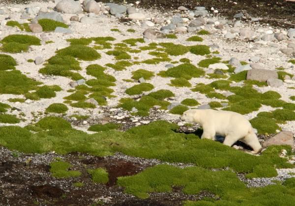 Polar Bear Viewing Churchill