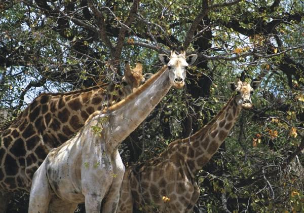 Giraffe in the Etosha National Park