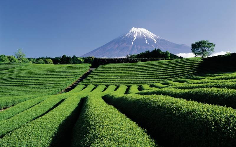 Mt Fuji and Tea Plantation Shizuoka Japan