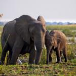 Elephants in Zambezi River