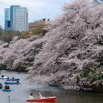 Kirschblüte in Tokio, Japan
