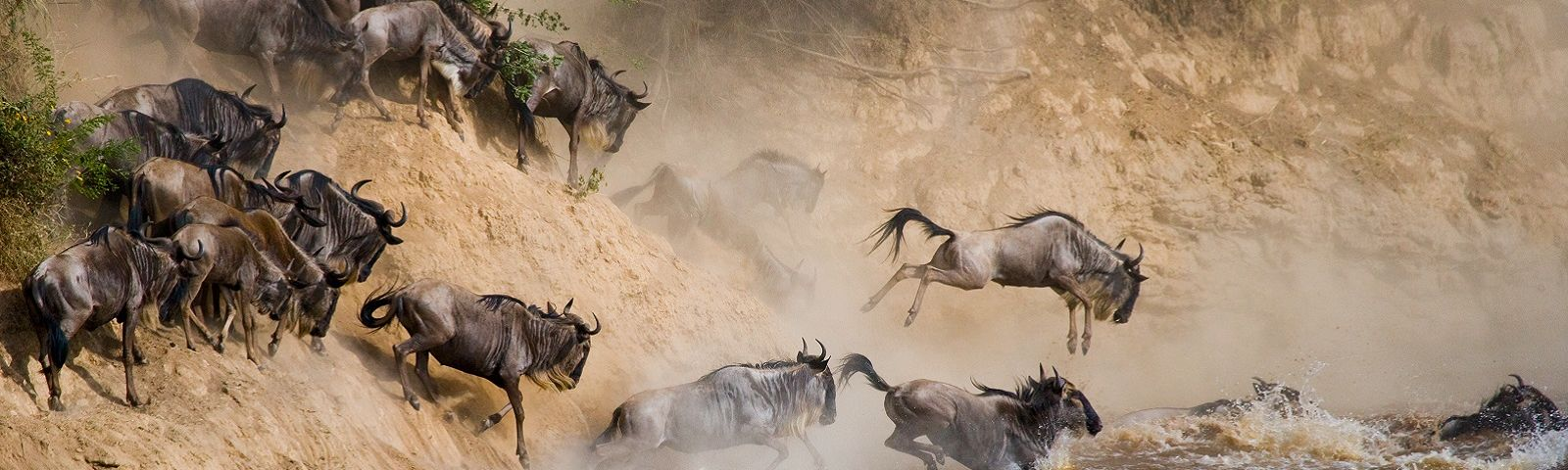 Best Time to Visit Kenya - Wildebeests are crossing Mara river. Great Migration. Kenya. Tanzania. Masai Mara National Park