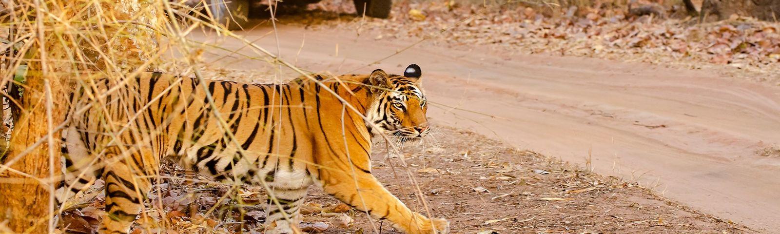 Enchanting Travels - Tiger Safaris in India - A tiger crossing the safari track inside bandhavgarh tiger reserve during a wildlife