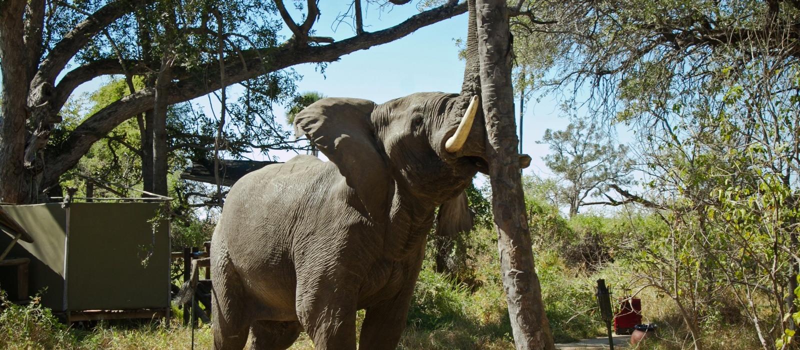 Elefant im Oddballs Camp in Okavango Delta, Botswana