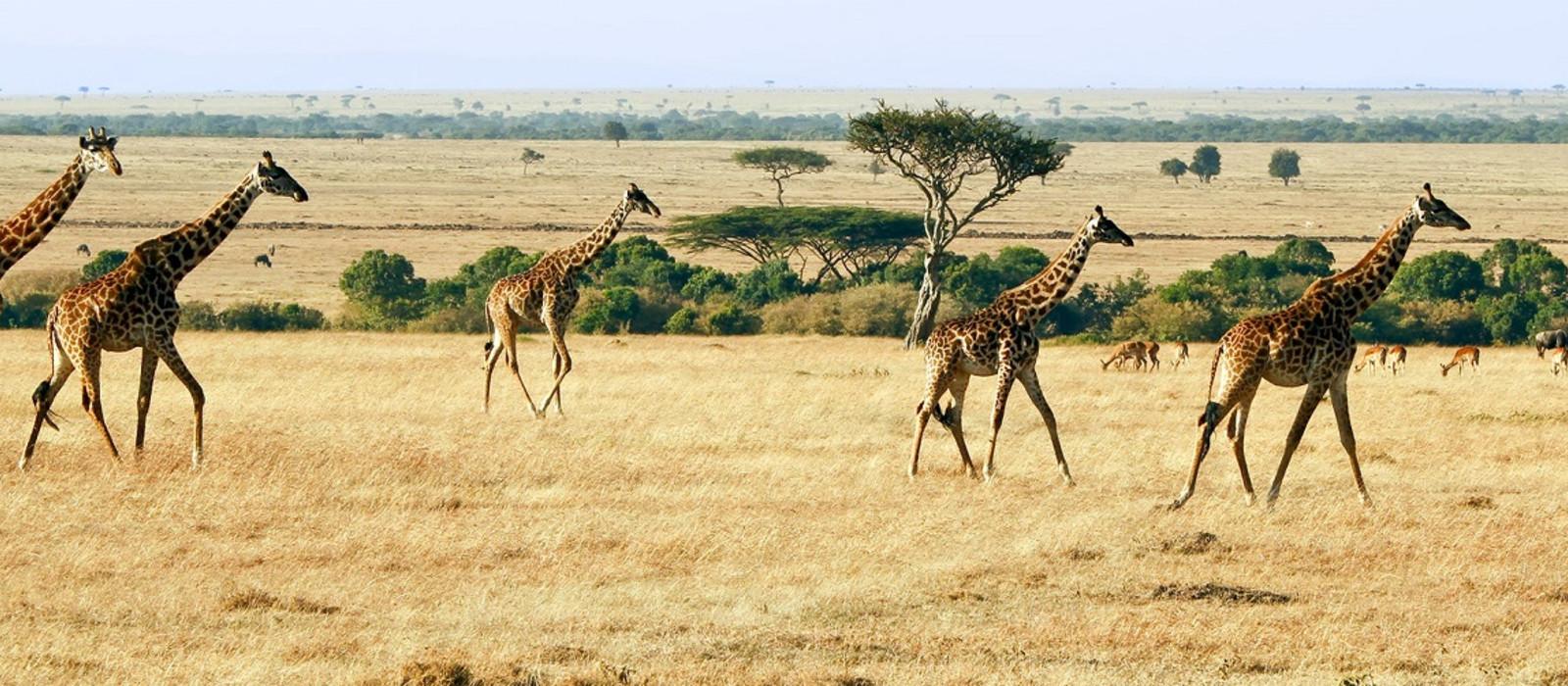 Wilde Giraffen in Afrika