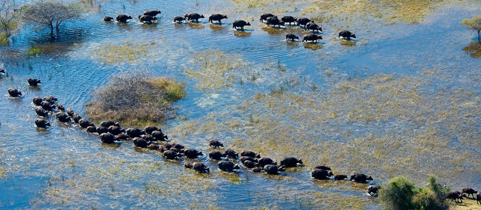 Gnuherde durchquert einen Fluss im Okavango Delta in Botswana