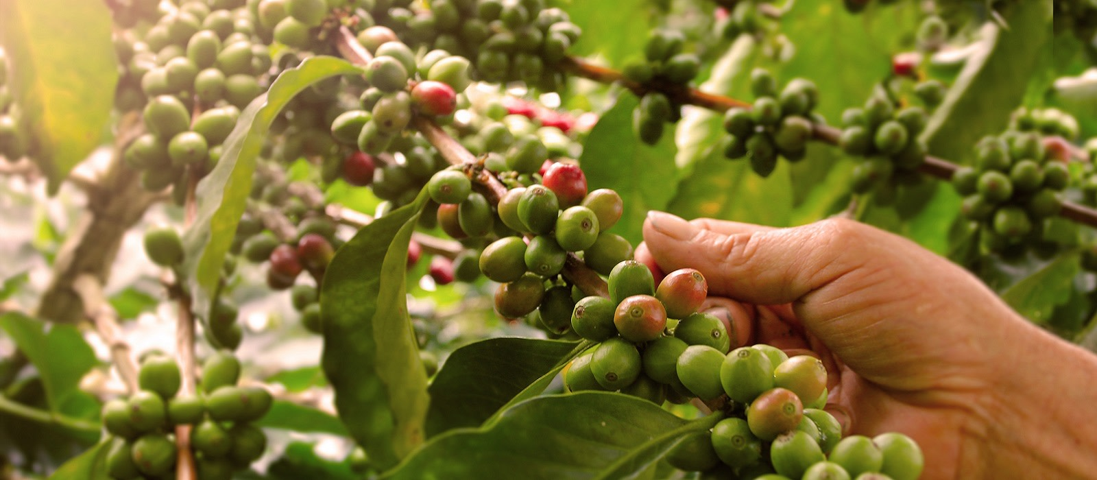 Cuisine in Colombia - Enchanting travels Colombia tour Coffee plantation