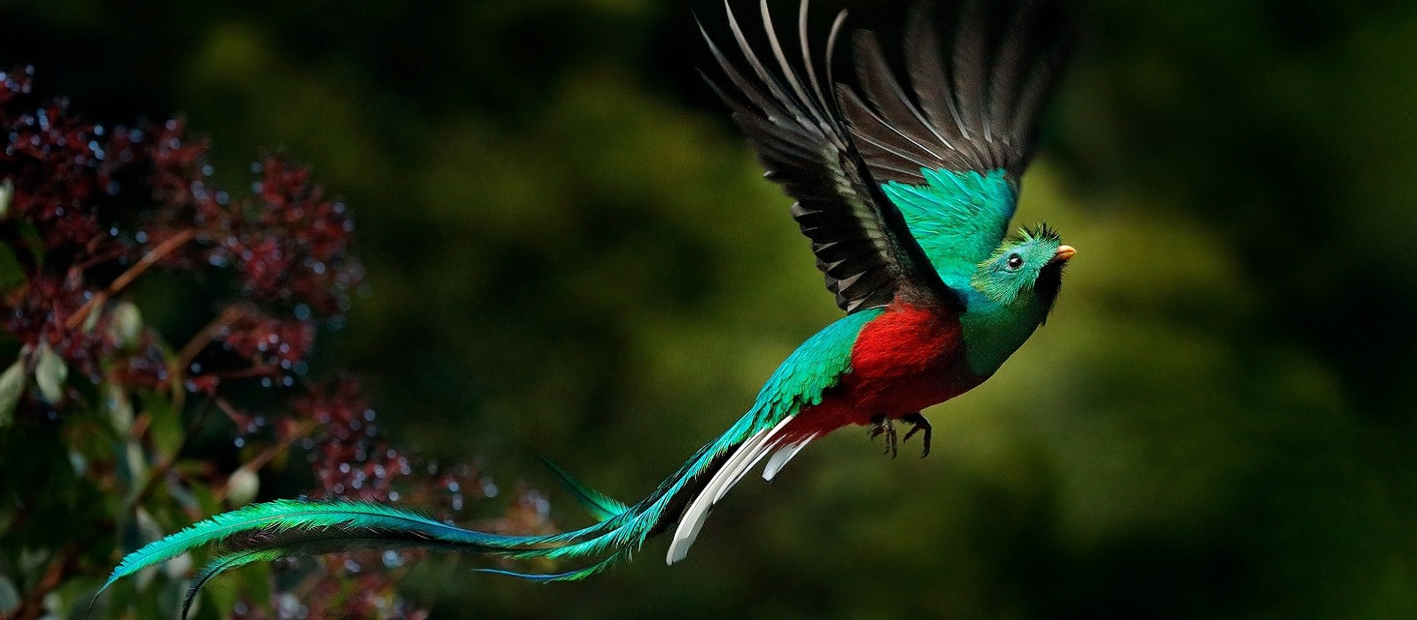 EnchantiFlying Resplendent Quetzal, Pharomachrus mocinno, Savegre in Costa Rica, with green forest in background. Magnificent sacred green and red bird. Action flight moment with Resplendent Quetzal.