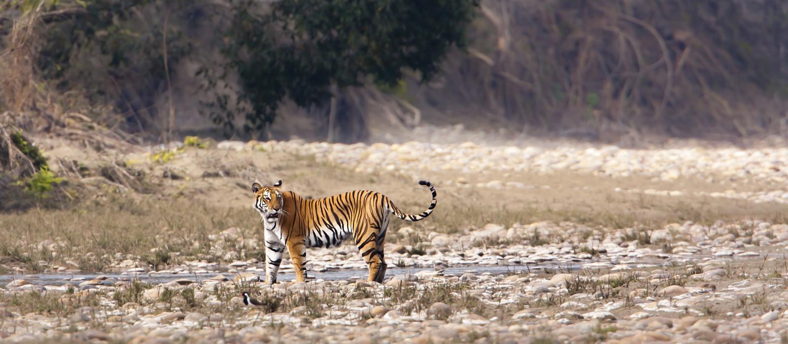 Wild Tiger, Ranthambore, India
