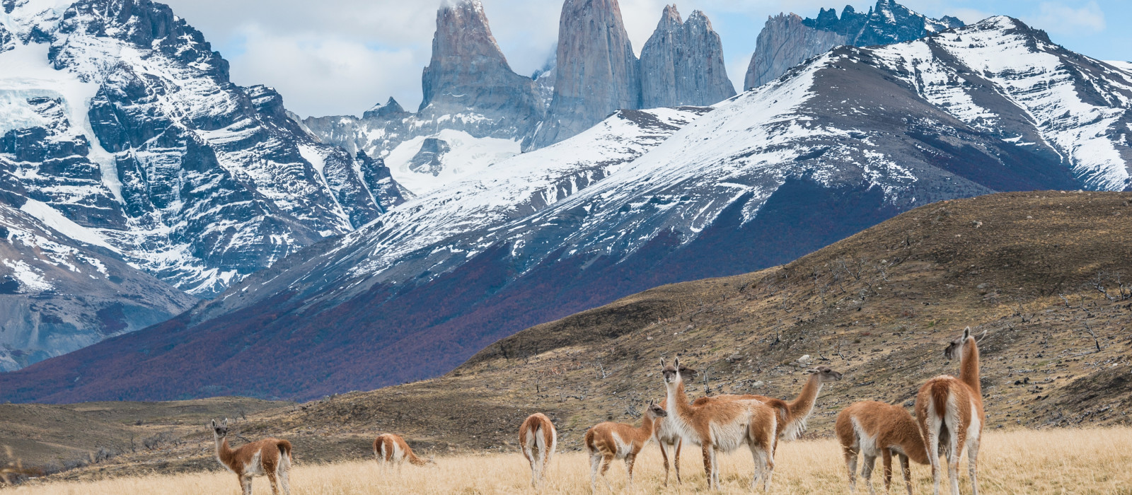 Guanacos in Torres del Paine National Park in Patagonia, Chile