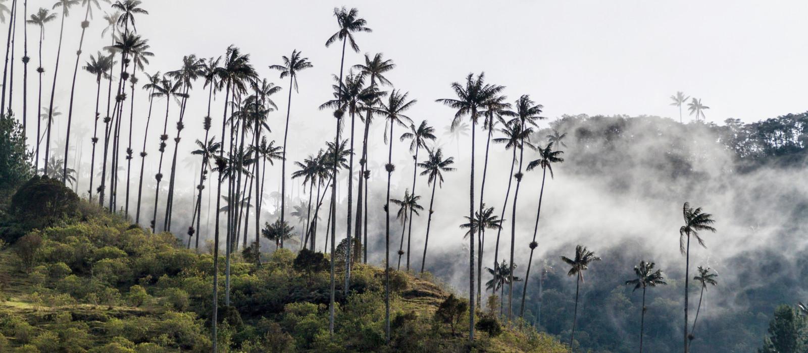 Wachspalmen im Cocora-Tal, Kolumbien, Südamerika