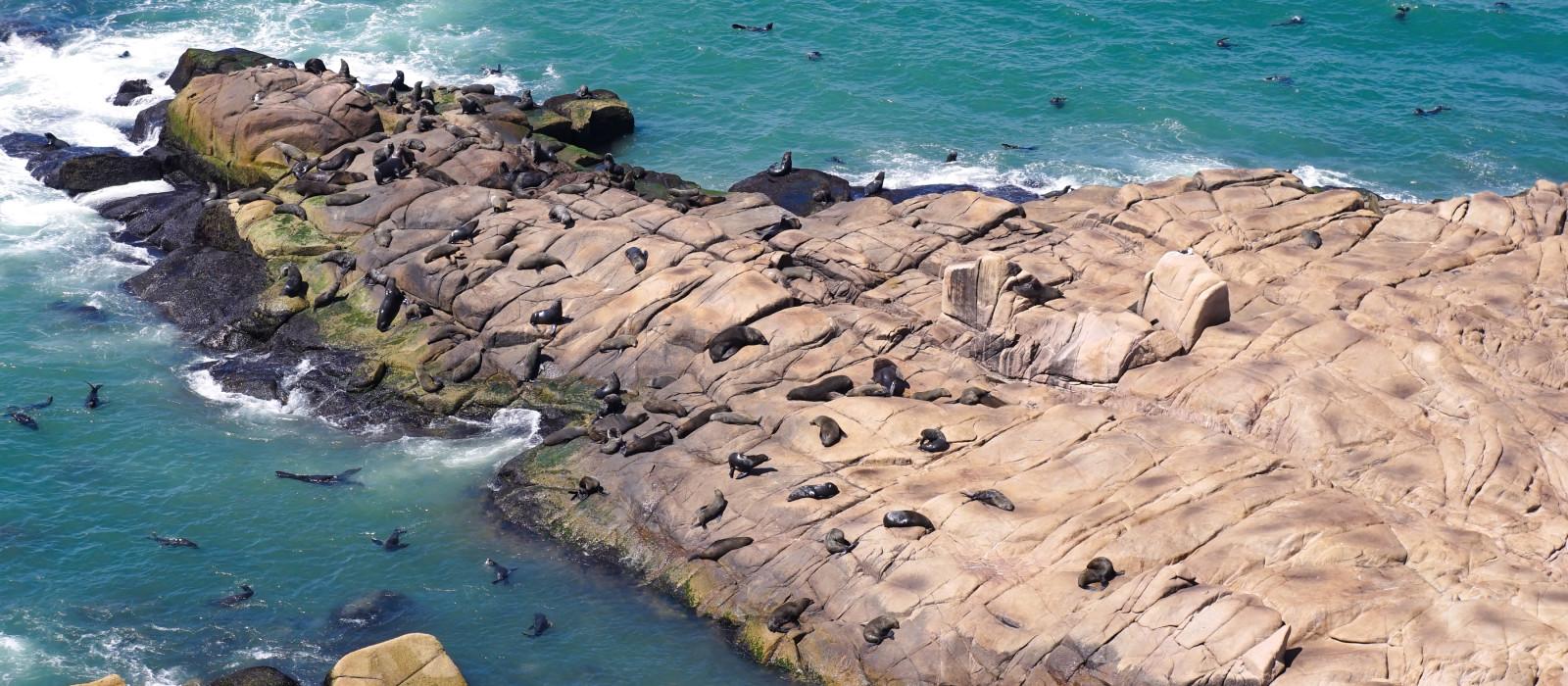 Seelöwenkolonie am felsigen Ufer in Cabo Polonio, Uruguay